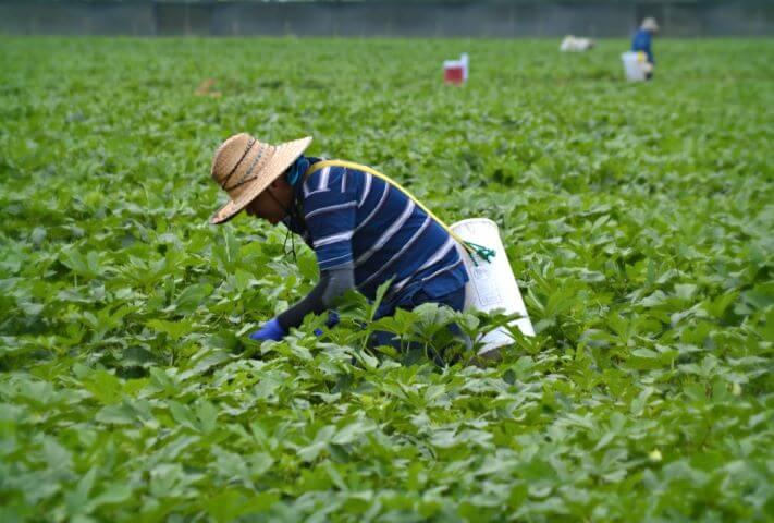 man picking vegetables